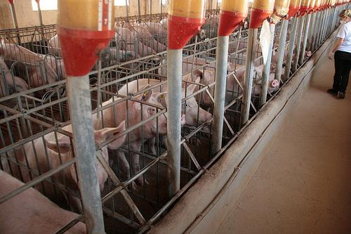 jamón ibérico cerdos explotación intensiva