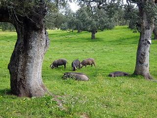 jamón ibérico cerdos ibéricos
